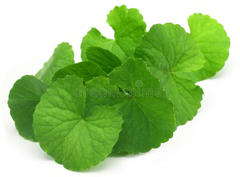 Medicinal thankuni leaves stock images