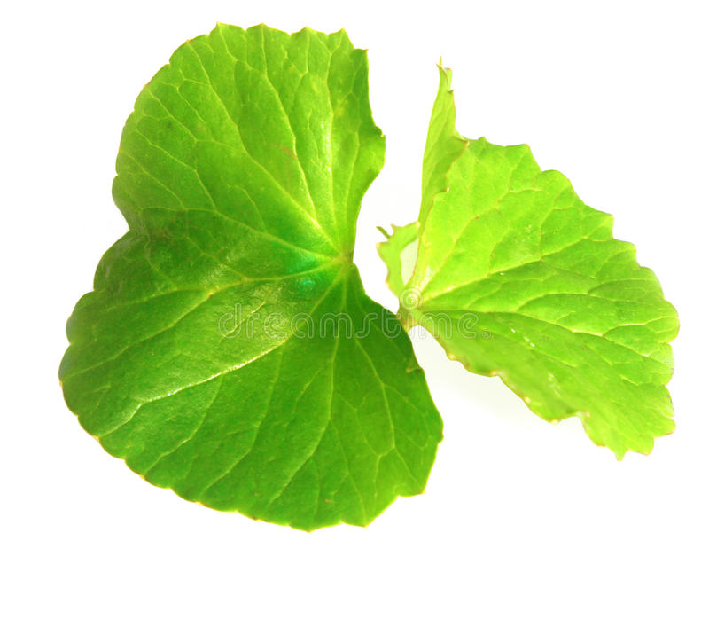 Medicinal thankuni leaves of Indian subcontinent royalty free stock images