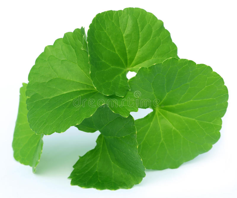 Medicinal thankuni leaves of Indian subcontinent royalty free stock image