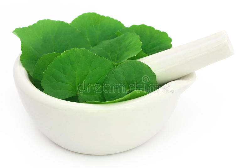 Medicinal thankuni leaves with mortar and pestle royalty free stock photos