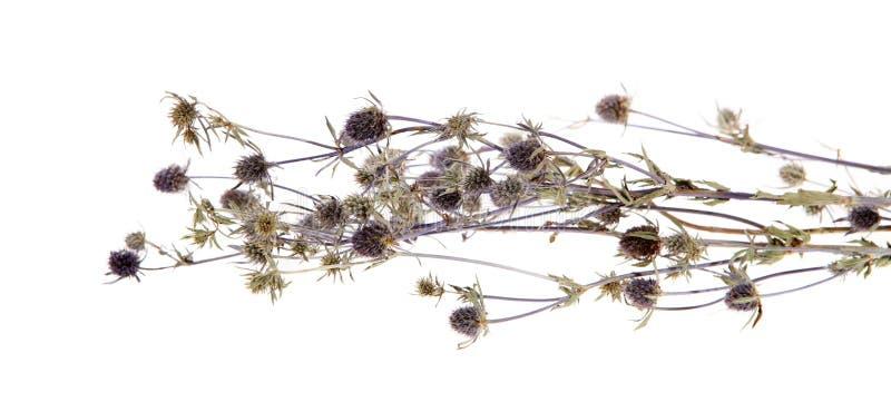 medicinal thistle för carduusörtar royaltyfria bilder