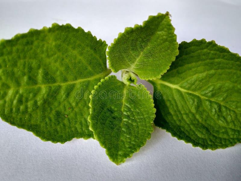 medicinal växt arkivfoton