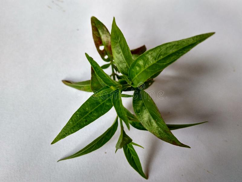 medicinal växt arkivfoto