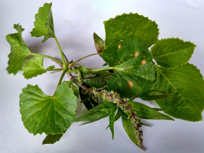medicinal växter royaltyfri foto