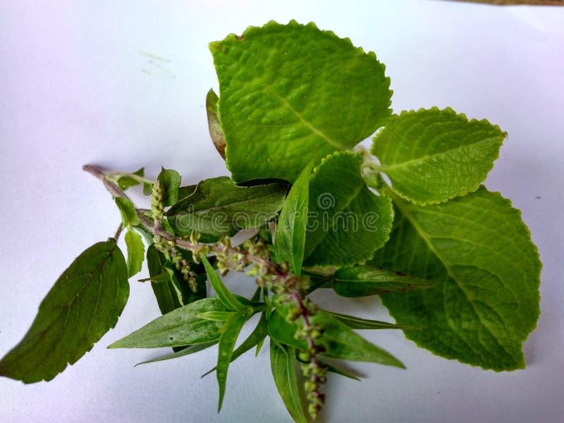 medicinal växter fotografering för bildbyråer
