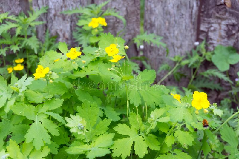 Medicinal herb celandine Chelidonium blooms with yellow flowers against the background of a wooden fence in the summer royalty free stock photo