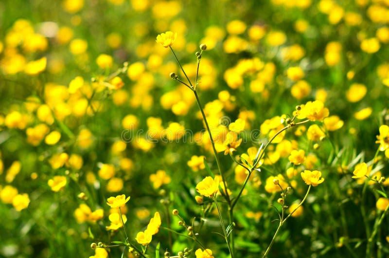 Medicinalväxtcelandine i trädgården Foto för selektiv fokus arkivbild