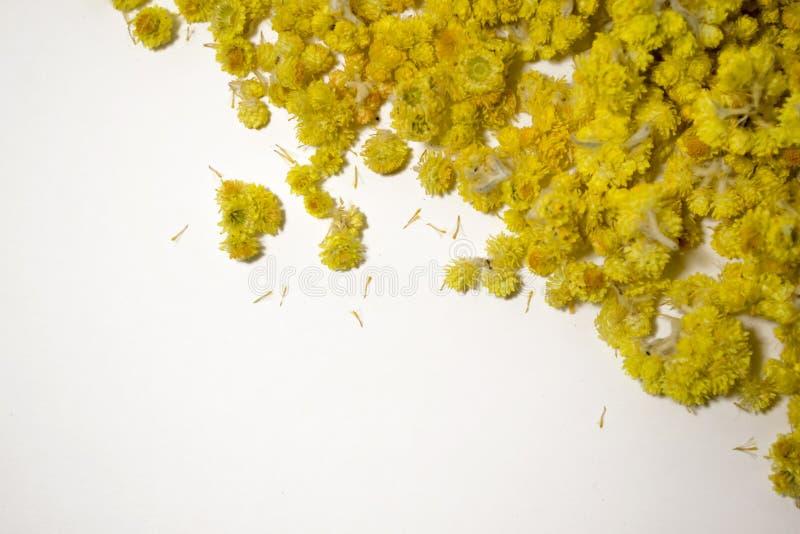 MedicinalväxtHelichrysumarenarium en vit bakgrund Top beskådar Torra blommor för guling royaltyfri bild
