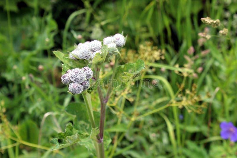 Medicinalv?xtkardborre Blomma och sidor av kardborren i en grästrädgård taggigt huvud för kardborreblomma royaltyfria bilder