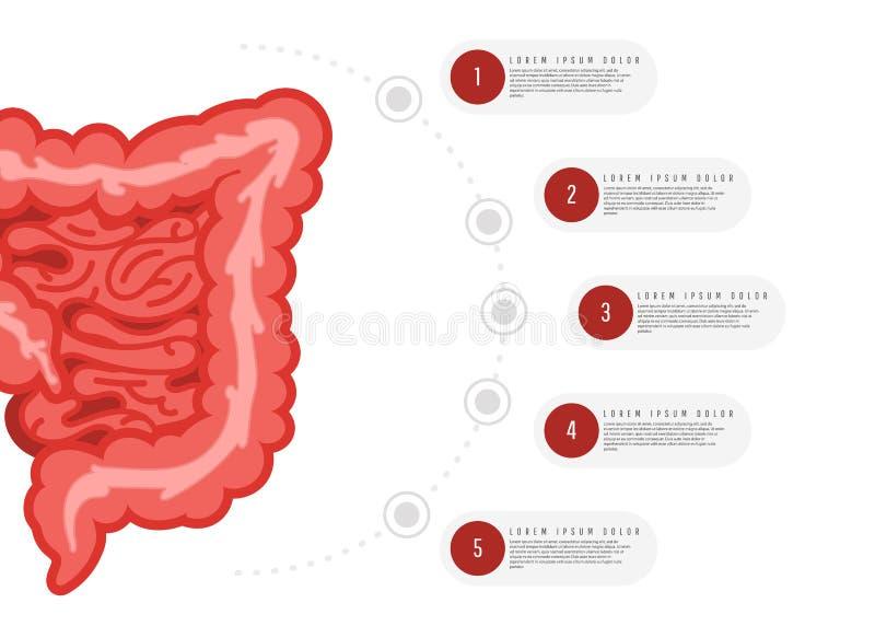 Medicine, biology concept infographics. Colon. Gastrointestinal tract. Vector illustration of human colon stock illustration