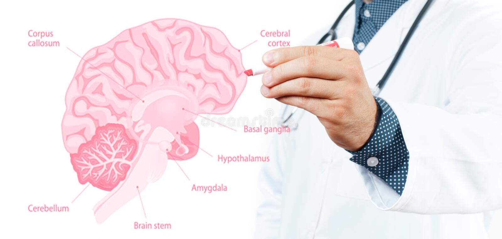 Medicine Concept. Doctor and Anatomy of human brain. For basic medical education stock photos