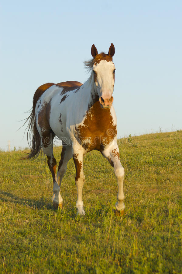 Medicine hat paint horse royalty free stock photos