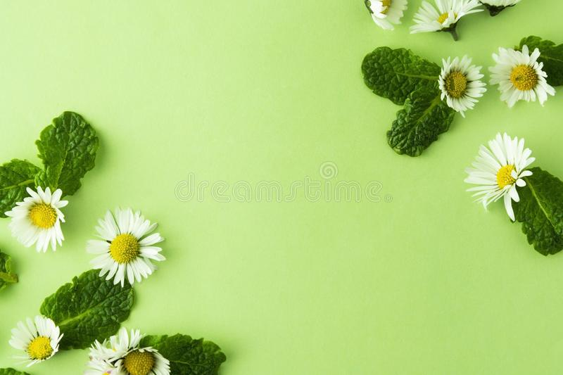 Medicine, natural camomile flower and mint herbs on green, for tea or design. Summer green background with copy space royalty free stock photography
