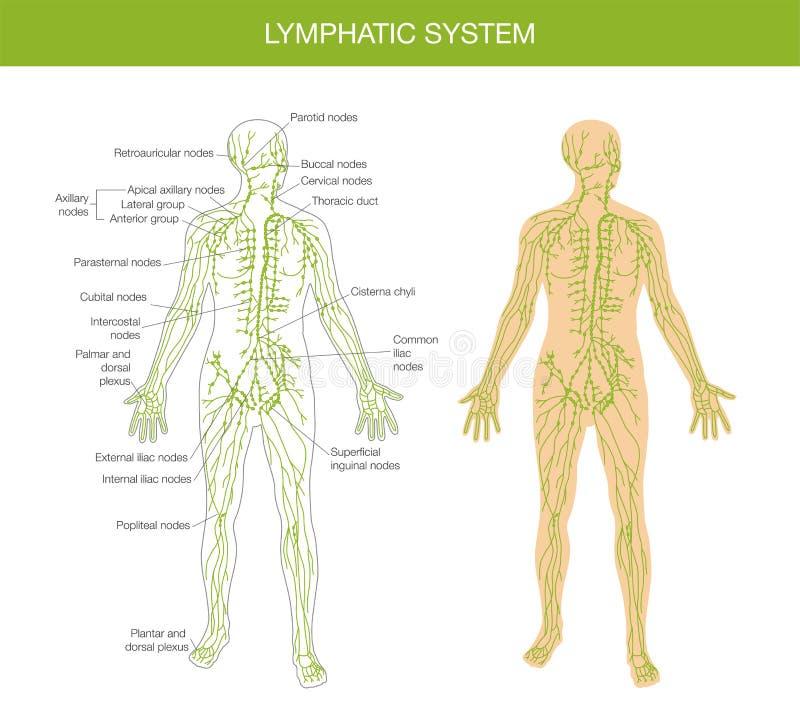 Medicinsk beskrivning av det lymfatiska systemet stock illustrationer