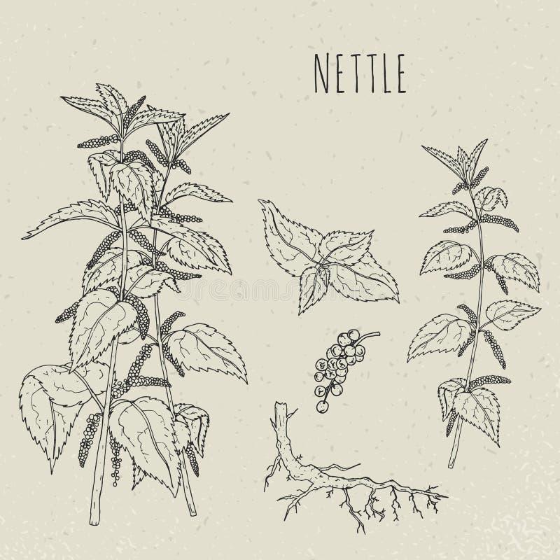 Medicinsk botanisk isolerad illustration för nässla Växten sidor, rotar, drog uppsättningen för blommor handen Tappning skissar vektor illustrationer