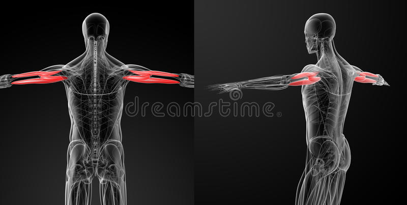 Medicinsk illustration av tricepens - brachii stock illustrationer