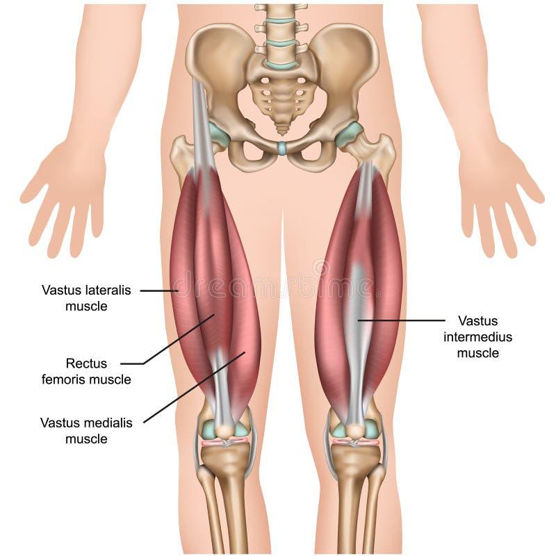 Medicinsk illustration för Quadricepsmuskelanatomi 3d royaltyfri illustrationer