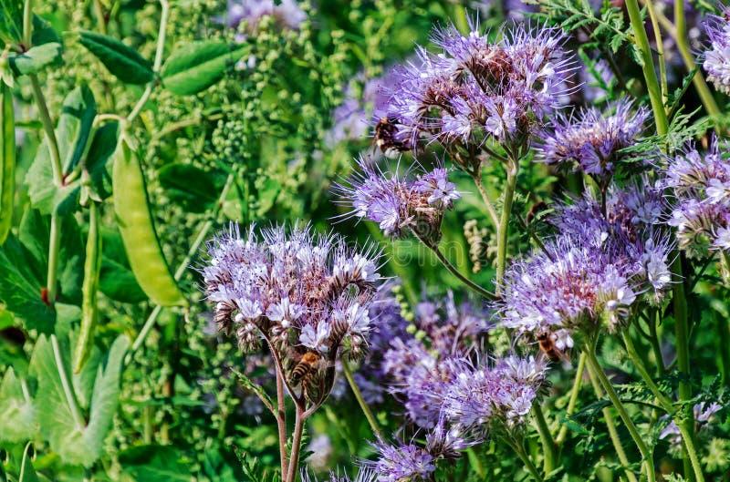 Medicinsk Lacy Phacelia Phacelia tanacetifolia och biväxt fotografering för bildbyråer