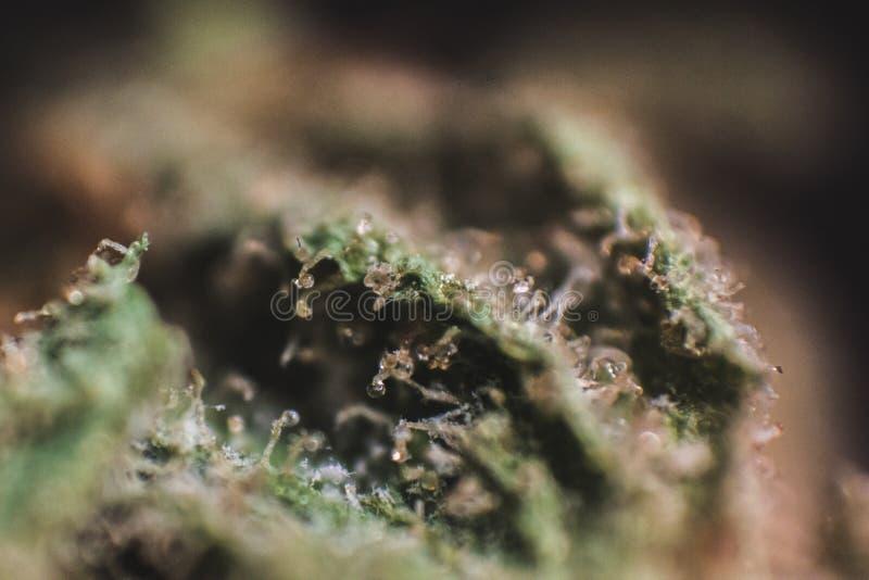 Medicinsk marijuana, cannabis, Sativa som är indica, Trichomes, THC, CBD, cancerbot, ogräs, blomma, hampa, gram, knopp royaltyfri foto