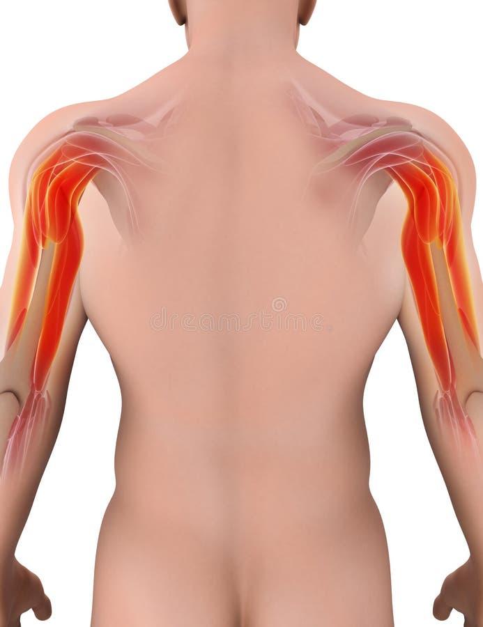 Medicinsk och vetenskaplig grafisk bakgrund, triceps muskulös 3d stock illustrationer