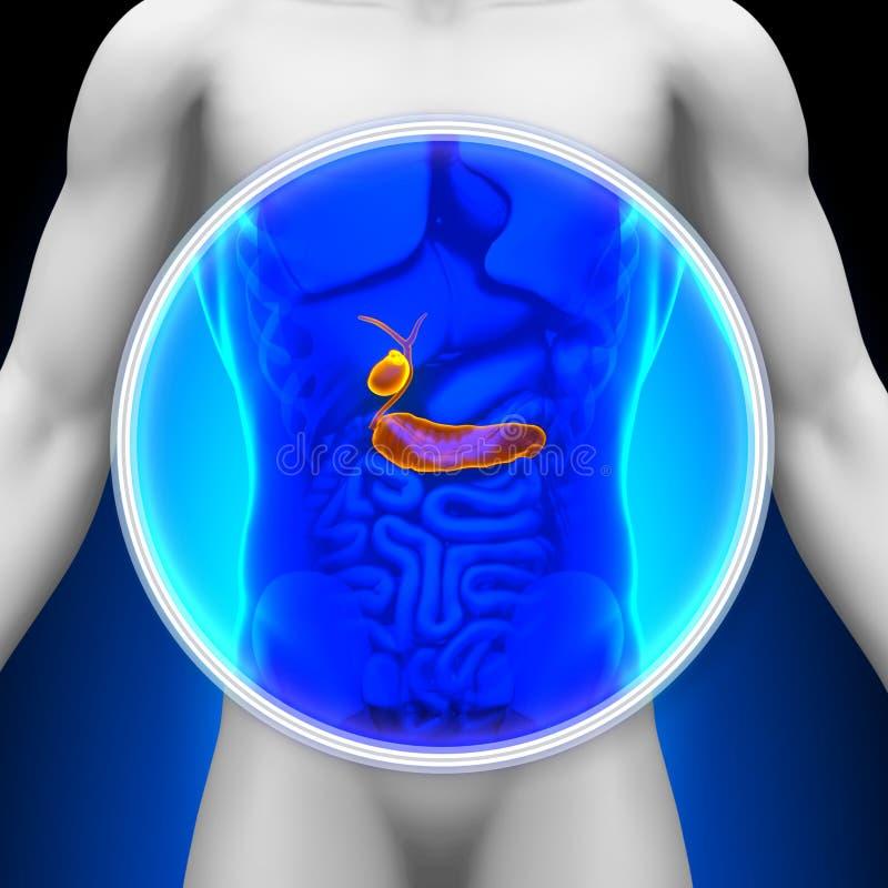 Medicinsk röntgenstrålebildläsning - bukspottkörtel/Gallbladder royaltyfri illustrationer