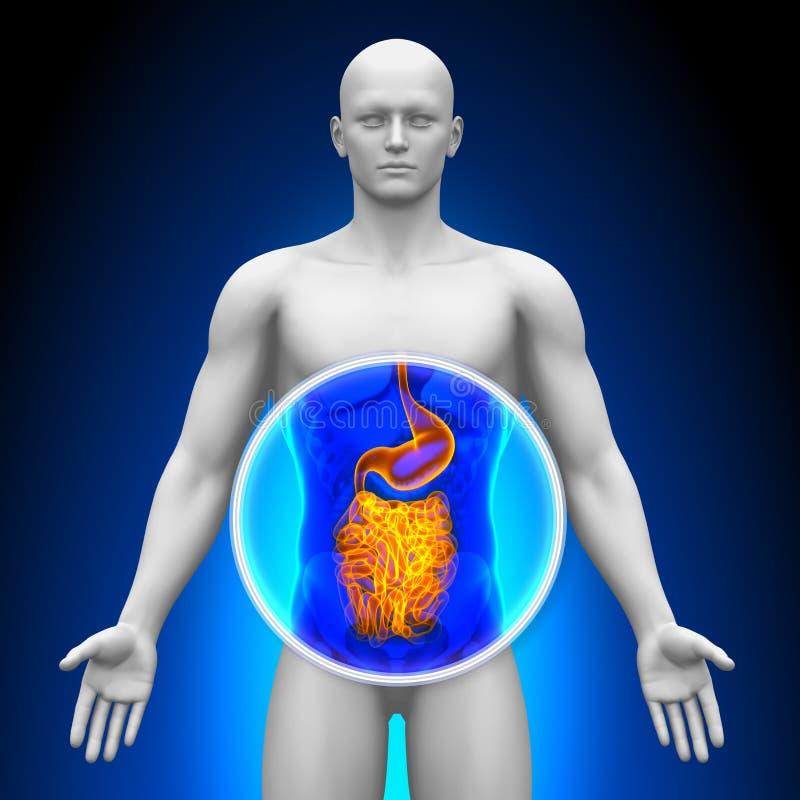 Medicinsk röntgenstrålebildläsning - innanmäte royaltyfri illustrationer
