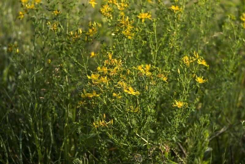 Medicinsk Sts John perforatum för WortHypericum, användbara växtblom med gula små blommor, bakgrund fotografering för bildbyråer