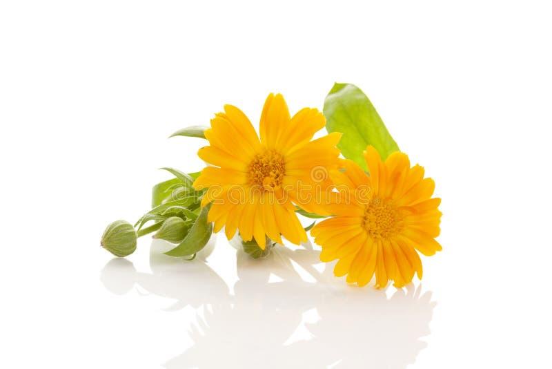 Medicinsk växt för Calendula royaltyfria foton