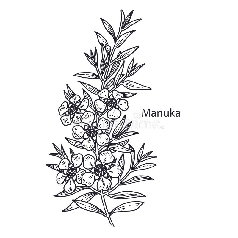 Medicinsk växt Manuka royaltyfri illustrationer