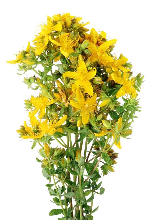 Medicinsk wort för örtSt John ` s med gula doftande blommor royaltyfri fotografi