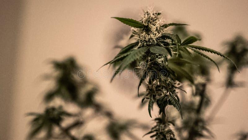 Medicinska marijuanaväxter cannabis Sativa royaltyfria foton