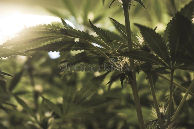 Medicinska marijuanaväxter stänger sig upp royaltyfri bild