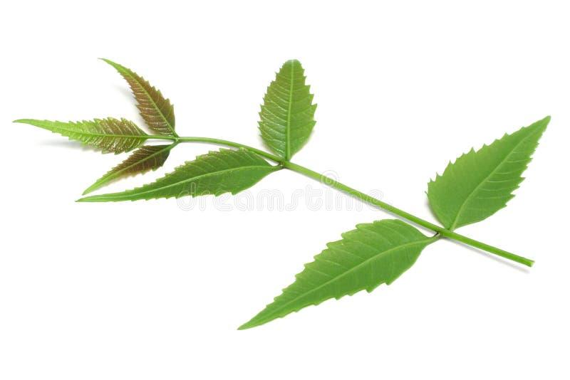 Medicinska växt- Neem sidor som används i ayurvedic alternativ herba arkivfoto