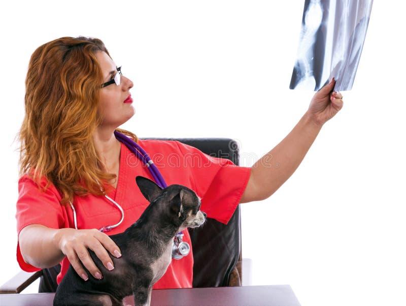Medico veterinario che esamina la radiografia di una chihuahua fotografia stock