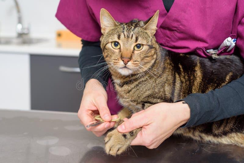 Medico veterinario che sistema i chiodi di un gatto sveglio immagine stock libera da diritti