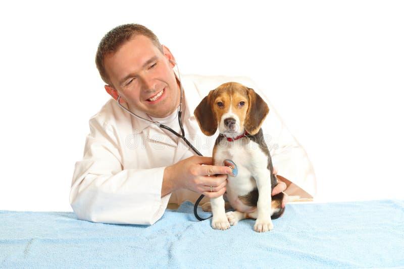 Medico veterinario e un cucciolo del cane da lepre fotografia stock libera da diritti