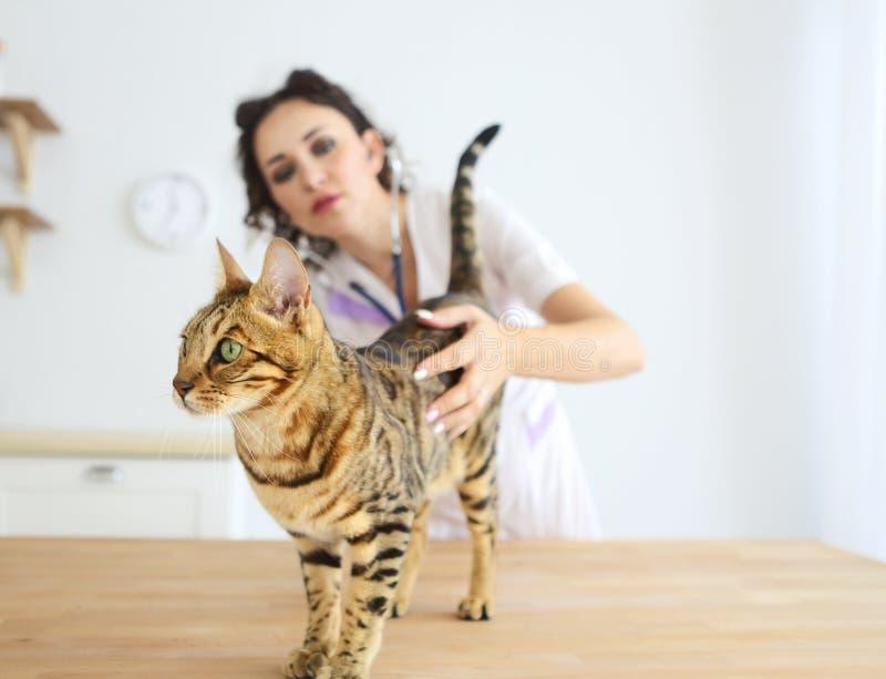 Medico veterinario sta componendo un controllo di bello gatto sveglio fotografie stock libere da diritti