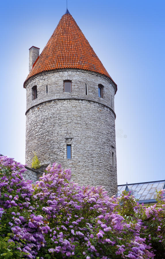 Medieval tower, part of the city wall, and the blossoming lilac. Tallinn, Estonia royalty free stock image