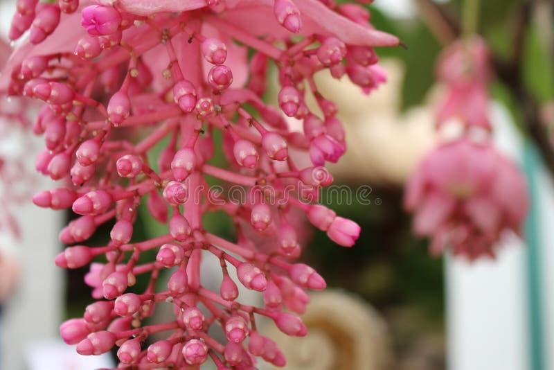 Medinilla Magnifica Filippijnse orchidee van de familie Melastomataceae royalty-vrije stock afbeelding