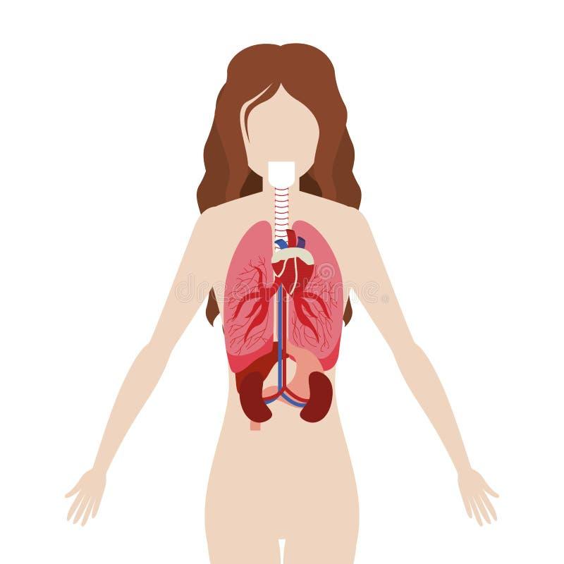 Medio Cuerpo De La Mujer Del Cuerpo Con Los órganos Internos ...