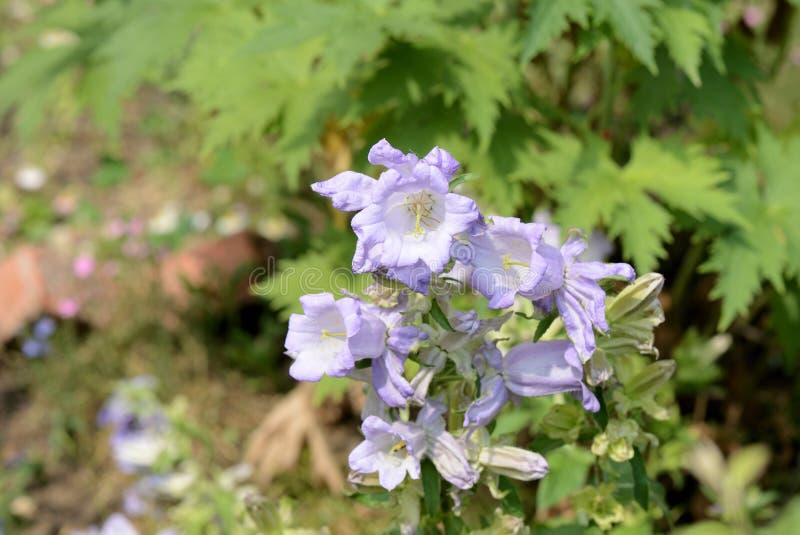 Medio de la campánula de las campanas de Cantorbery en el jardín en un día de verano foto de archivo