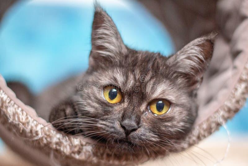 Medio gatito del persa del gris en su poste de rasgu?o imágenes de archivo libres de regalías