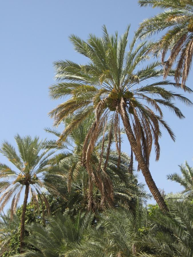 Medio Oriente o l'Africa, palme pittoresche abbellisce la fotografia del paesaggio fotografie stock