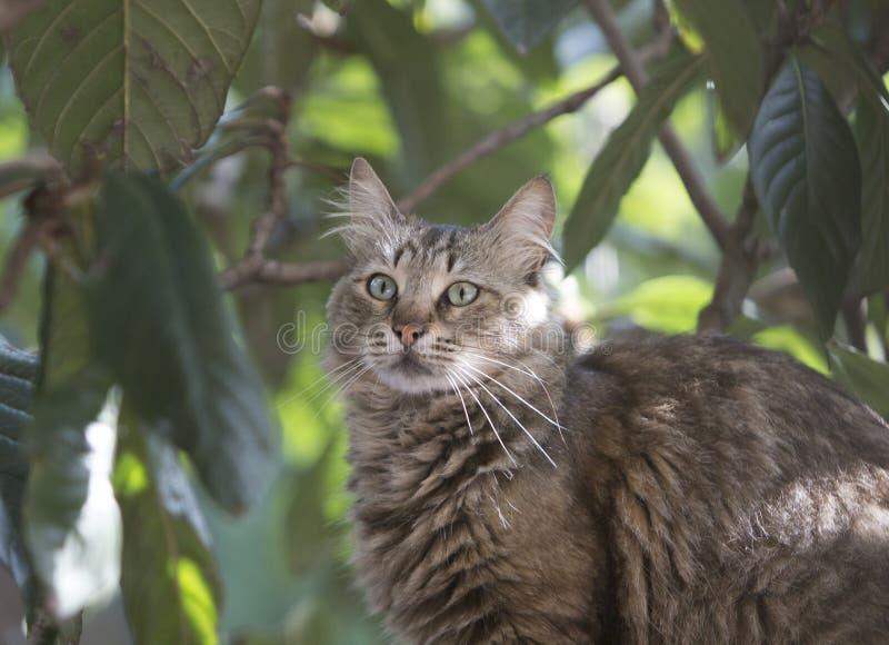 Medio retrato del cuerpo de un gato de gato atigrado perdido en el árbol del locquat que parece confuso imagen de archivo libre de regalías