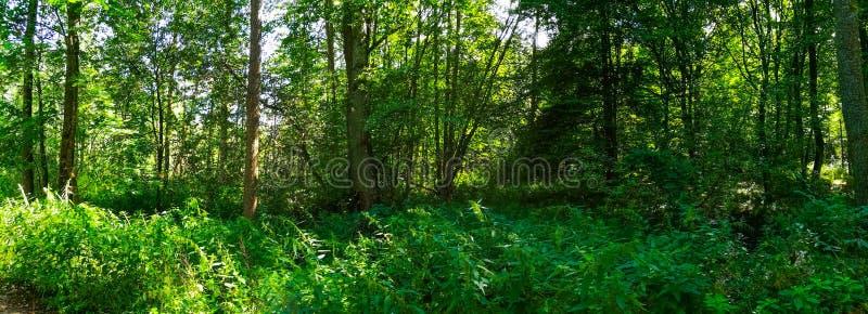 Mediodía sombrío en bosque de hojas caducas del verano imagen de archivo libre de regalías