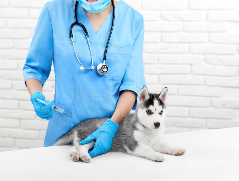Medique fazer a injeção pela picada para o cachorrinho com pele cinzenta foto de stock
