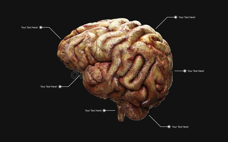 Medisch 3d illustratie van de menselijke hersenen met het knippen van weg stock illustratie
