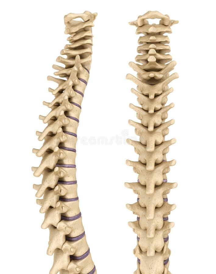 Medisch nauwkeurige illustratie van de menselijke stekel vector illustratie