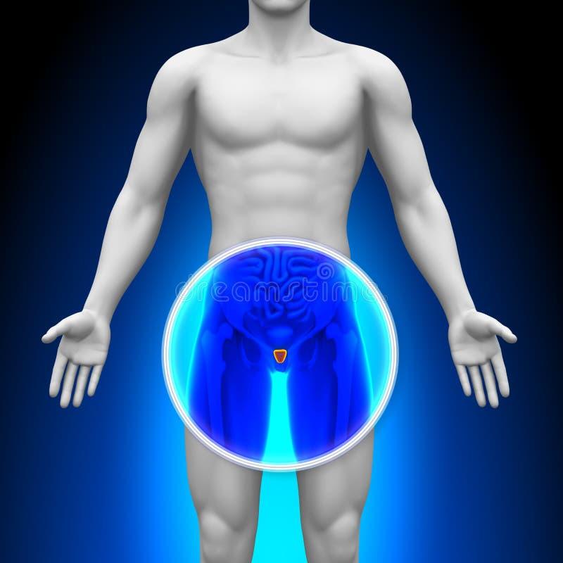 Medisch Röntgenstraalaftasten - Voorstanderklier stock illustratie