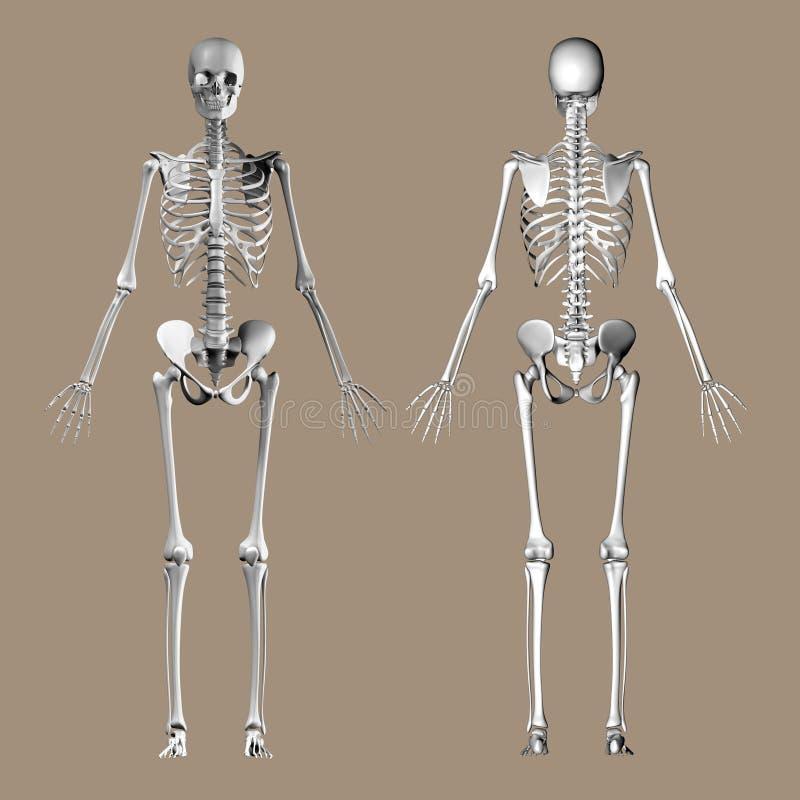 Medische 3D geeft van een vrouwelijk skelet terug royalty-vrije illustratie